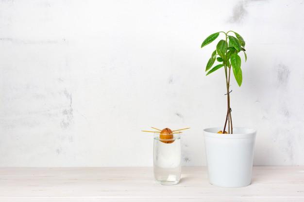 Cultivar hueso aguacate en casa