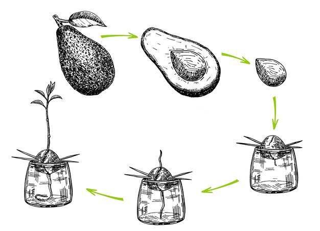 como cultivar un hueso de aguacate